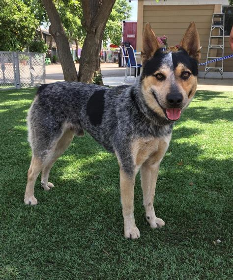 This Australian cattle dog is up for adoption – Press