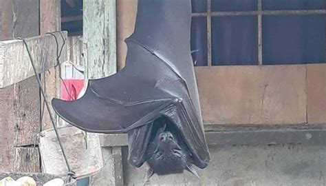 The truth behind the 'human-sized' bat picture that went