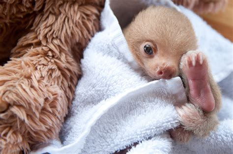 Adorable Portraits of Rescued Baby Sloths
