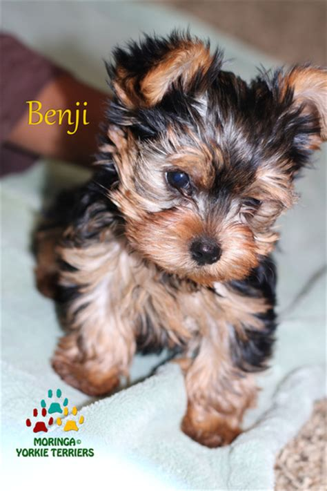 Yorkie Puppies For Sale* Teacup, Toy Dogs*Colorful Yorkies
