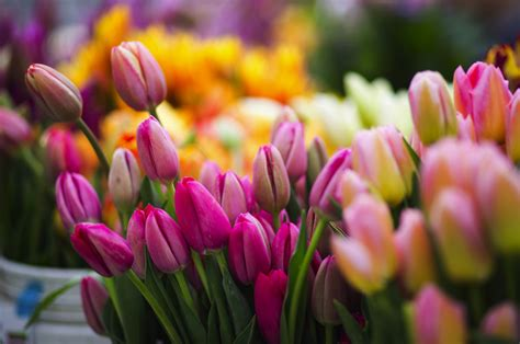 Plant tulip and daffodil bulbs by November | The Seattle Times