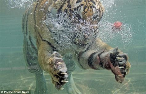 My, what large teeth you have! Akasha the swimming tiger