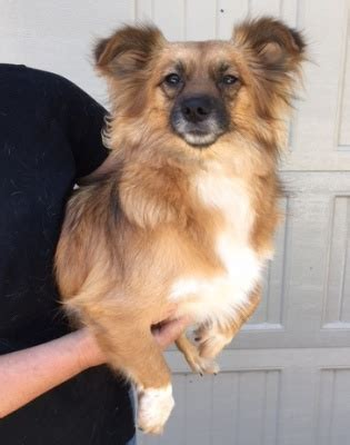 This impossibly cute sheltie mix is available for adoption